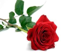 0000350_single-red-rose